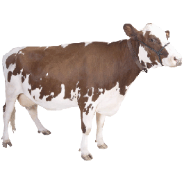 Cow Thin Stock Magnet